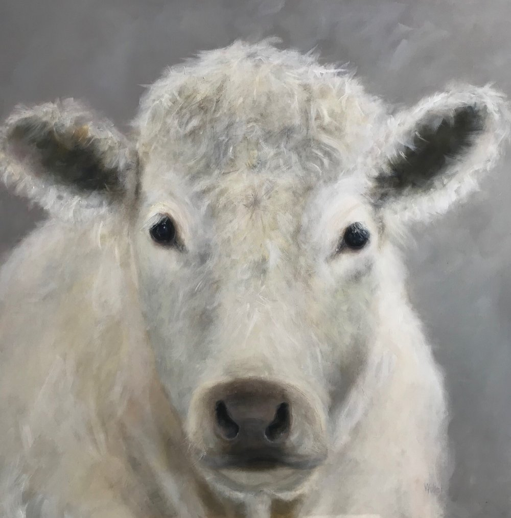 Charolais Calf 48 x 48 Available