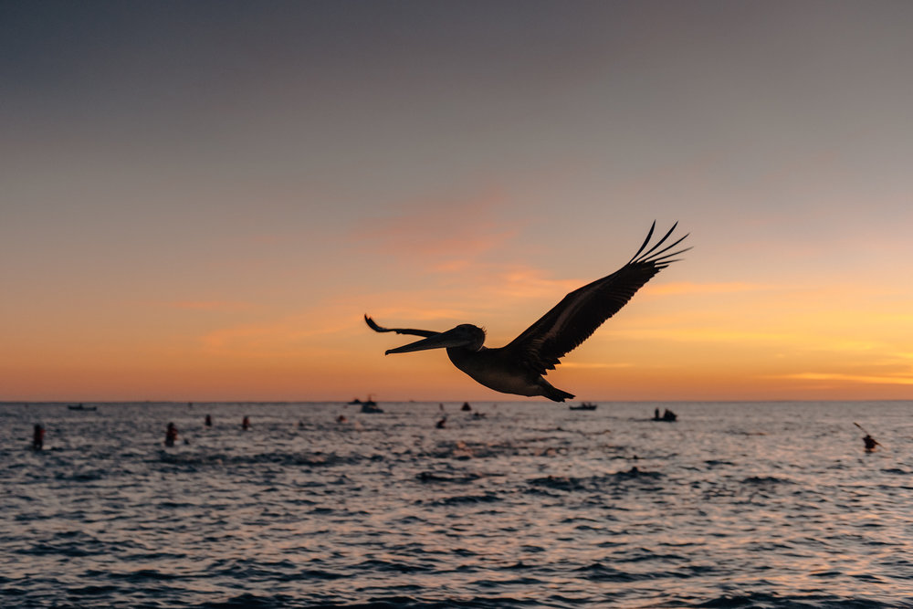 Pelican takes flight as the pro men warm up for the swim.