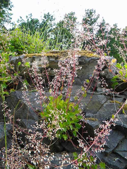 Alumroot (Heuchera micrantha)