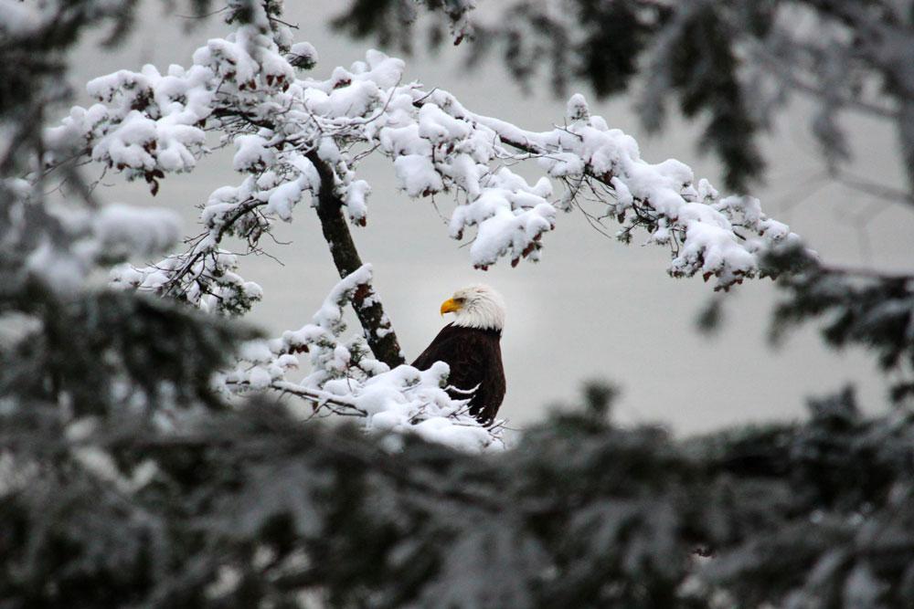 Eagle-Snow-Lummi-Island-170227.jpg