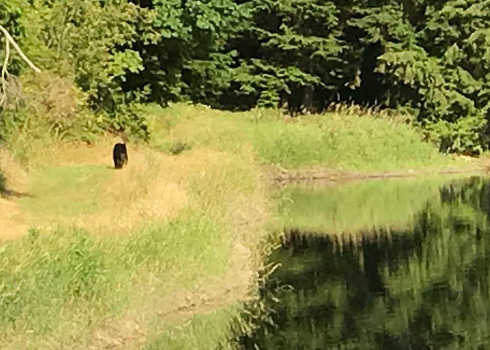 Black bear at Lummi Island Scenic Estates reservoir (July 27, 2018)