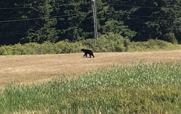Bear near S. Nugent Rd July 25. Photo: Christopher Bowers