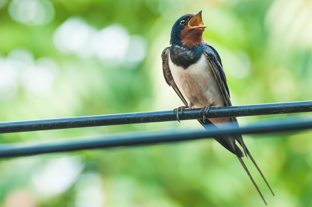 Swallow singing on wire.jpg
