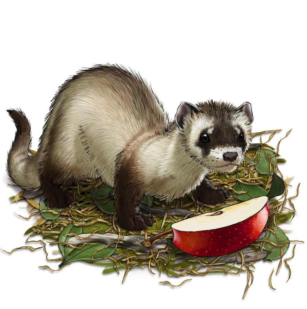 Carefesh Pet Food Packaging - Ferret