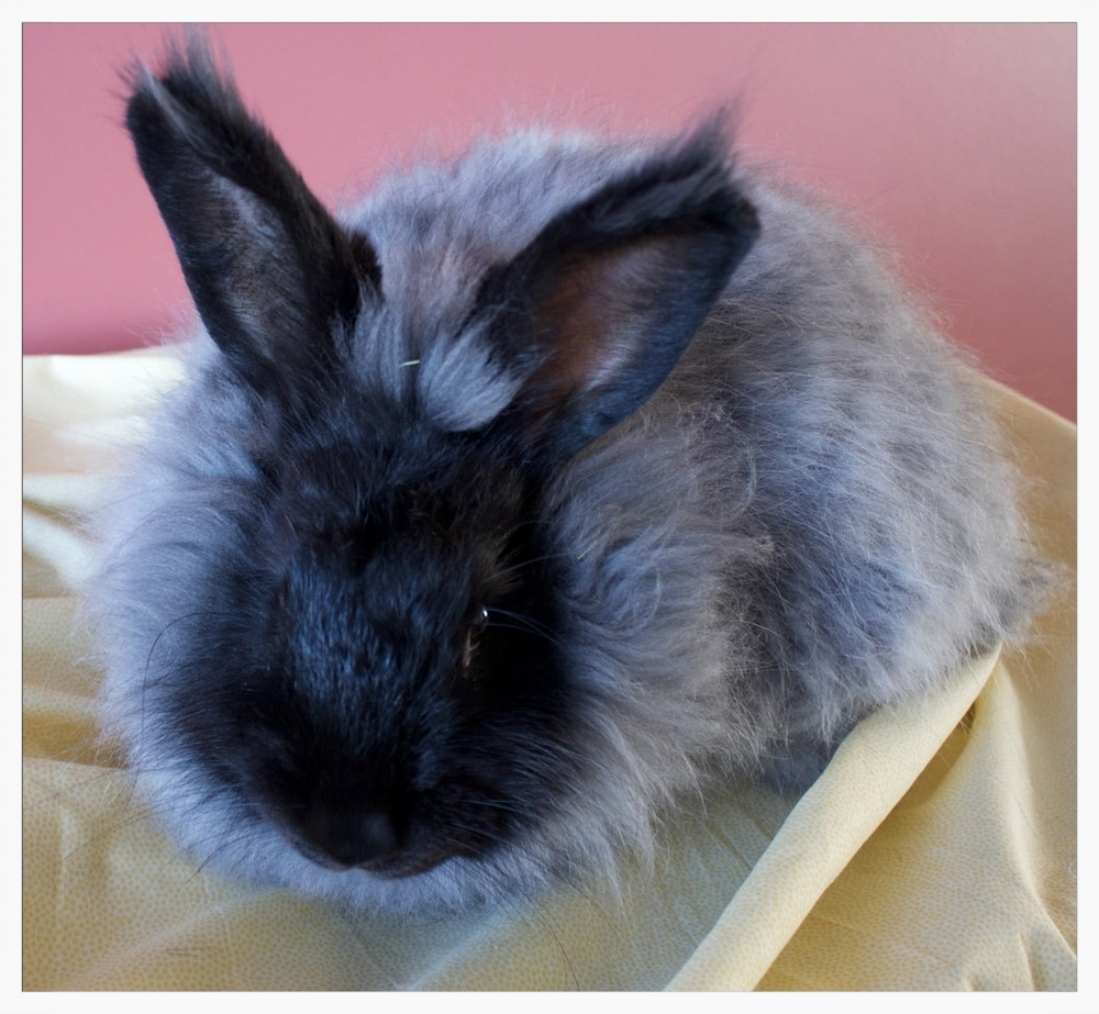 German and French Angora Hybrid