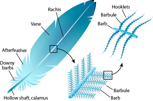 Feather anatomy, courtesy of Ask a Biologist, Arizona State University