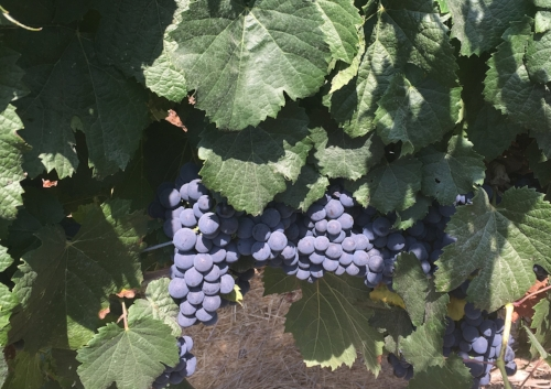 Wine grapes (either cabernet or malbec) at the Tzuba Winery. [Image shows two clusters of blue-purple grapes amid healthy green leaves]