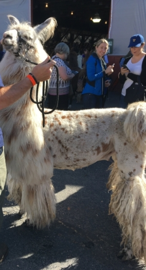Cream camelid with brown spots with a poodle-style haircut.