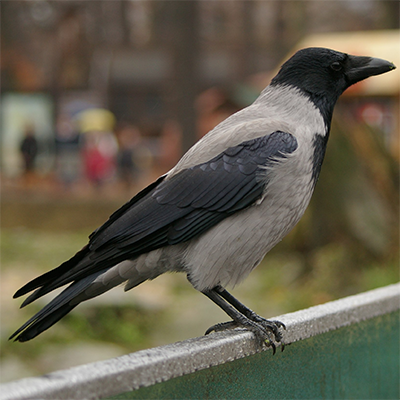 Hooded crow in Berlin, Germany; Photo from Wikimedia Commons
