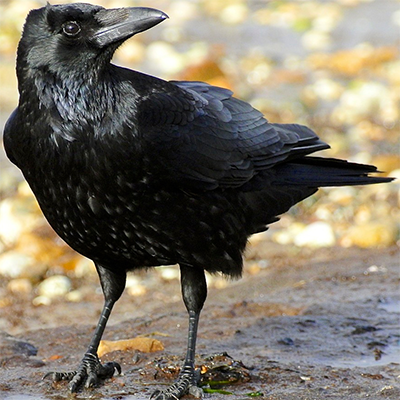 Carrion crow in Dorset, England; Photo from Wikimedia Commons