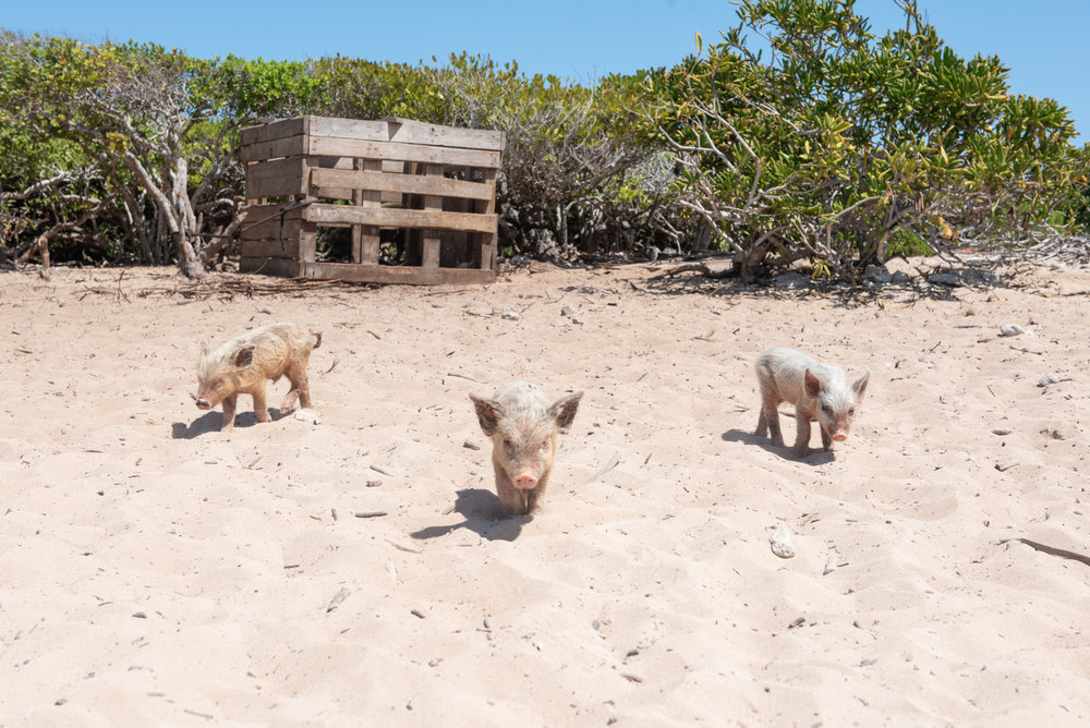 The little piglets melted my heart! How adorable are they?! I want one!!!!