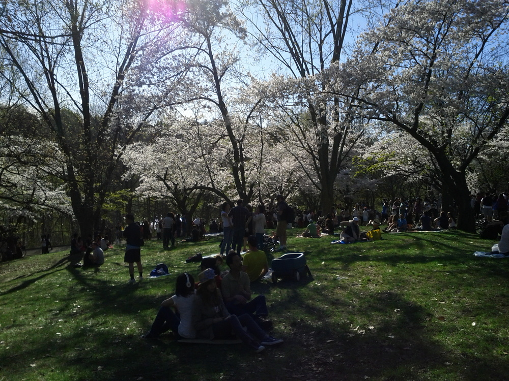 """ Cherry Blossoms in High Park "" ( CC BY 2.0 ) by     False Positives"