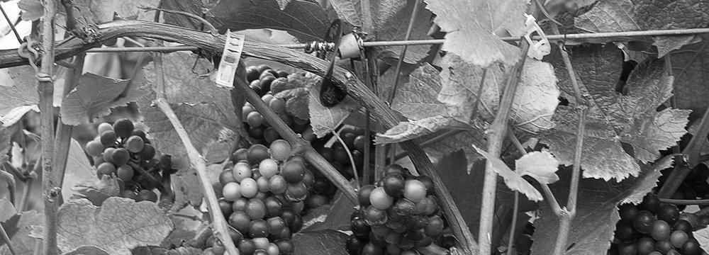 photo courtesy of long dog vineyards