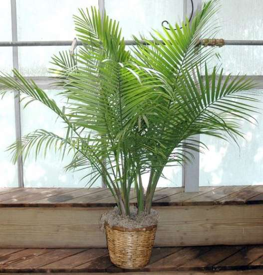 Majesty-Palm-in-Basket.jpg