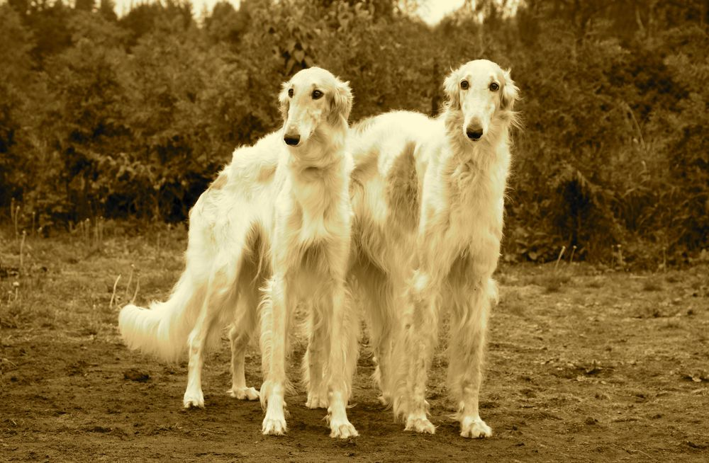 Borzoi Pair Sepia for Catalog.jpg