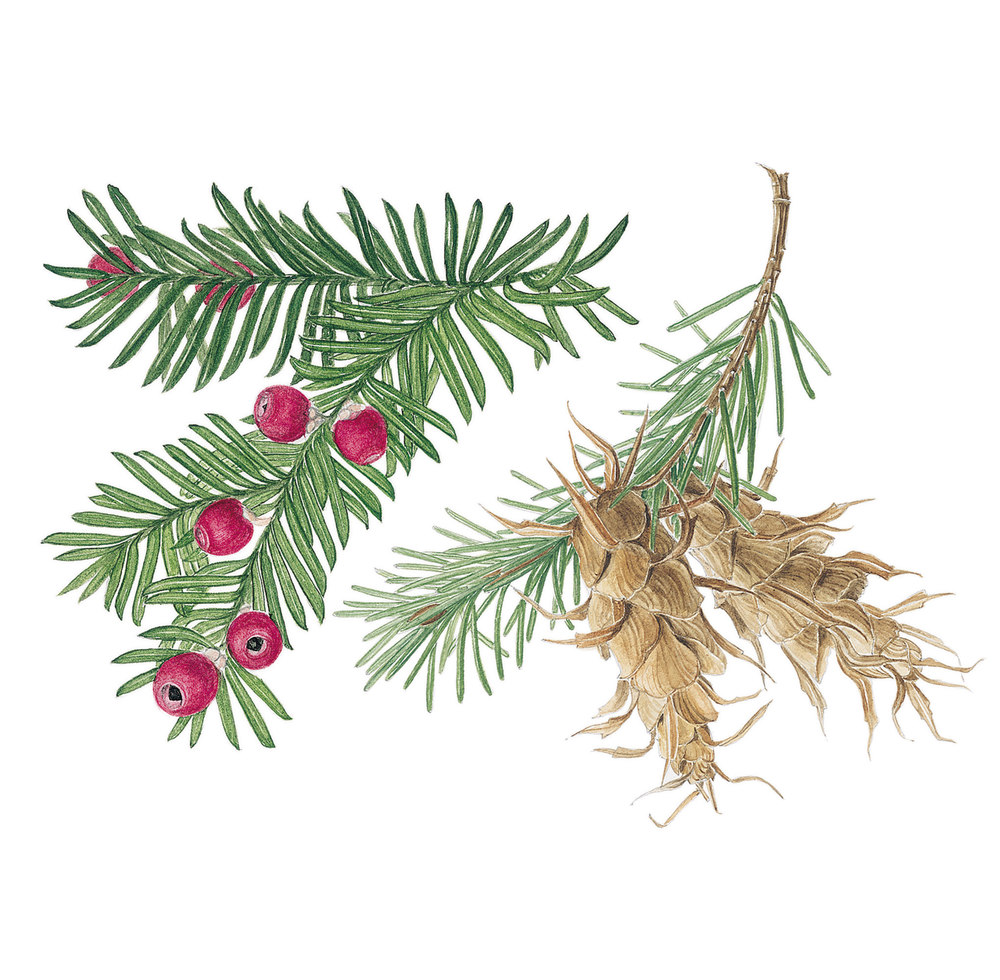 Yew and Fir