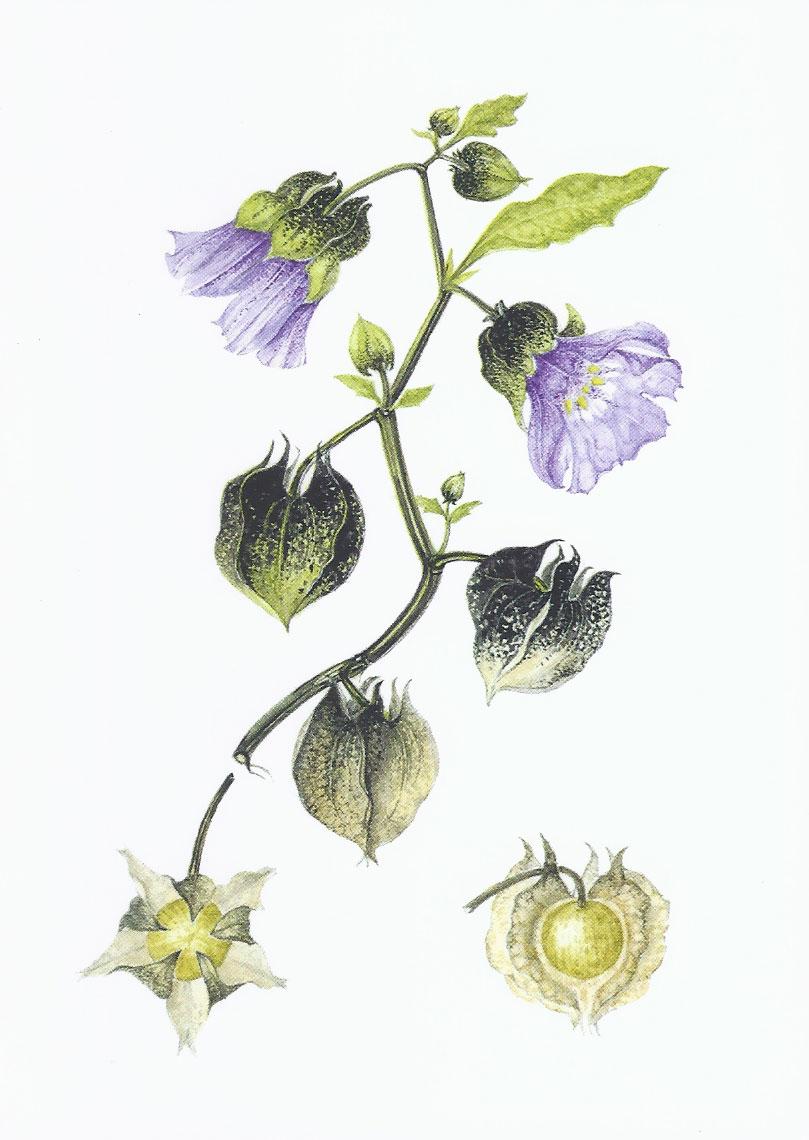 Shoofly Plant