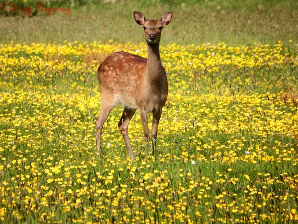 suzy deer.jpg