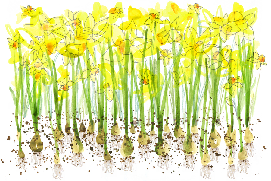 'daffodils' by Courtney Wotherspoon