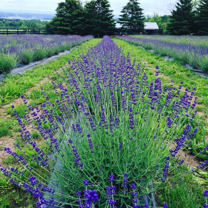 Purple Hill Lavender Farm