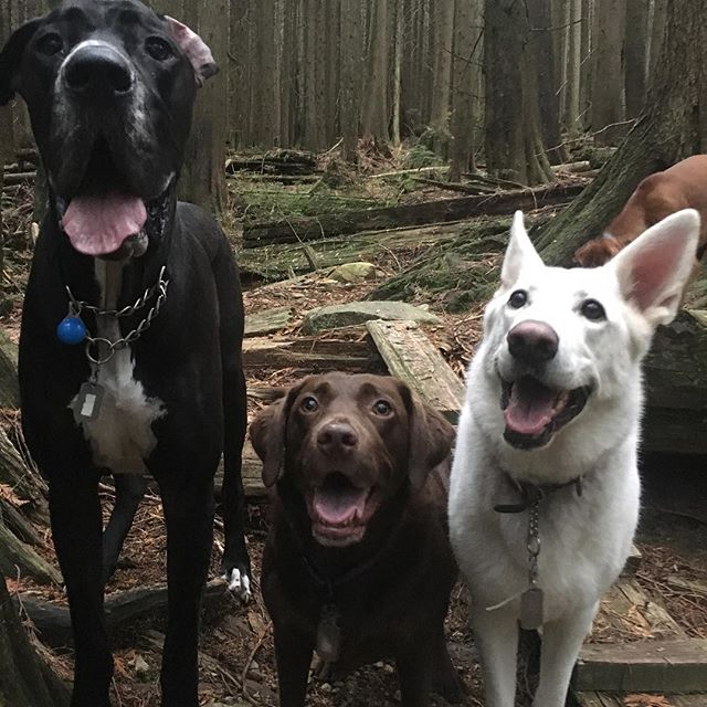 Kayto the bark ave Dane out with his buddies... has so much fun 😀 thank you north shore dog walkers !!🤗 #lolo #lowerlonsdale #northshore #northshoredogwalkers #funtimes #socute #yvr #yvrdogs #greatdane #westcoast #dogsofig #dogsofinsta #vancouver #lovedogs #lovedanes