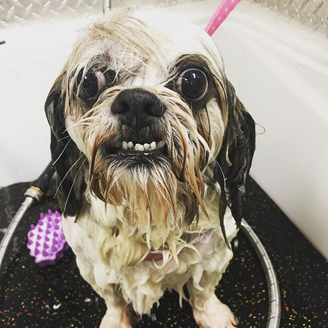 What a cutie pie ! He likes his bath.. but turns into a little trouble maker when gets plopped onto the grooming table😜 we all love him with his character! 🤗 #lolo #northvancouver #lowerlonsdale #yvr #yvrdogs #westcoast #vancouver #dogsofig #dogstagram #dogsofinsta #lovedogs