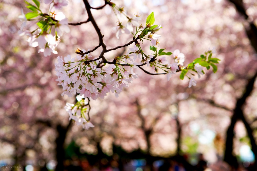 travel_cherry-blossom-and-youth_01.jpg