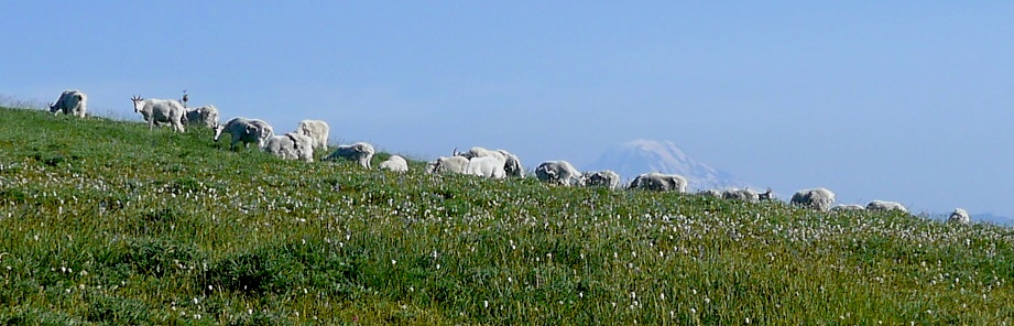 resident goat herd with Mt. Adams behind