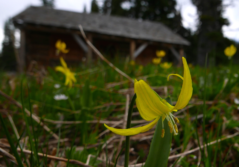 glacier lillies already out