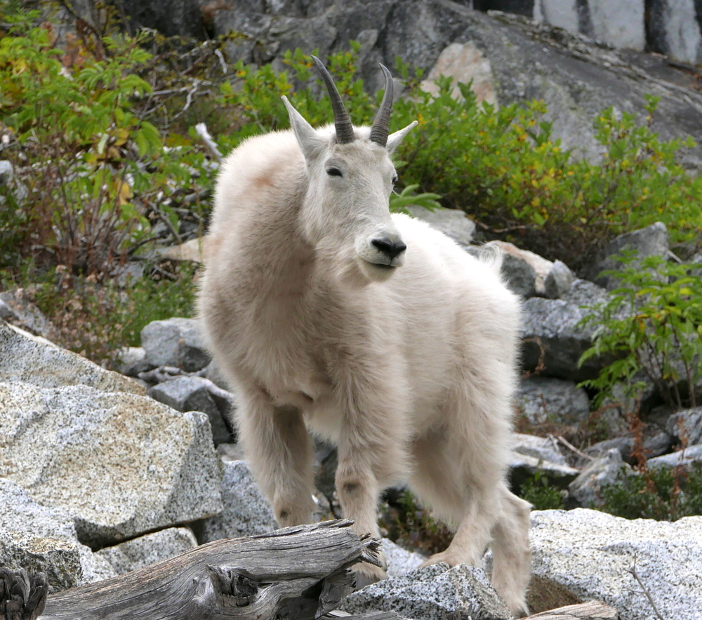 goat above Nada Lake