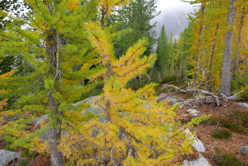 the larches are coming!