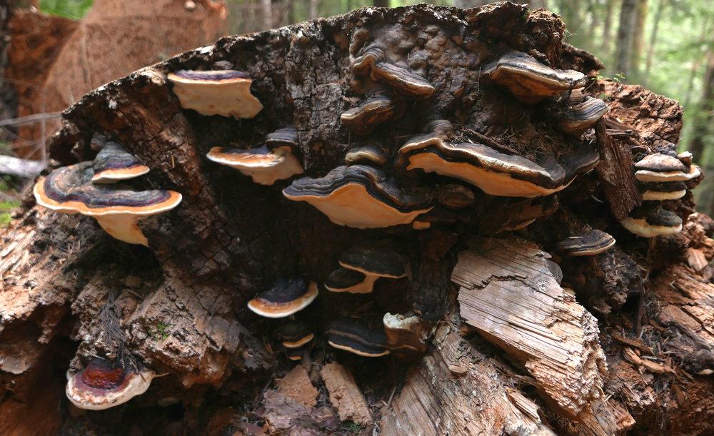 polypore colony