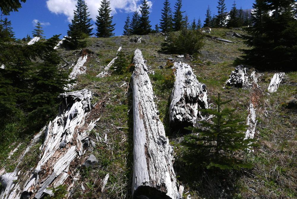 Ghosts slipping away, blast zone Mt. St. Helens