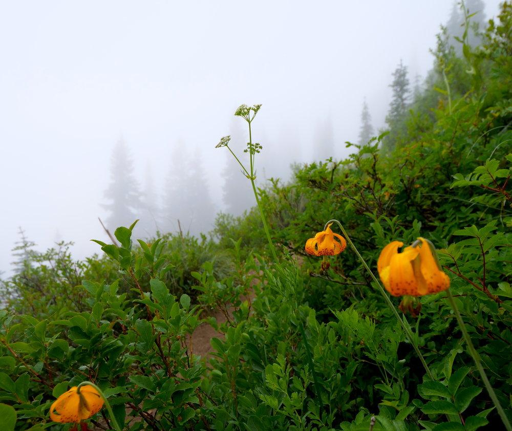 Lilies along the Shriner Peak trail, ascending in the fog
