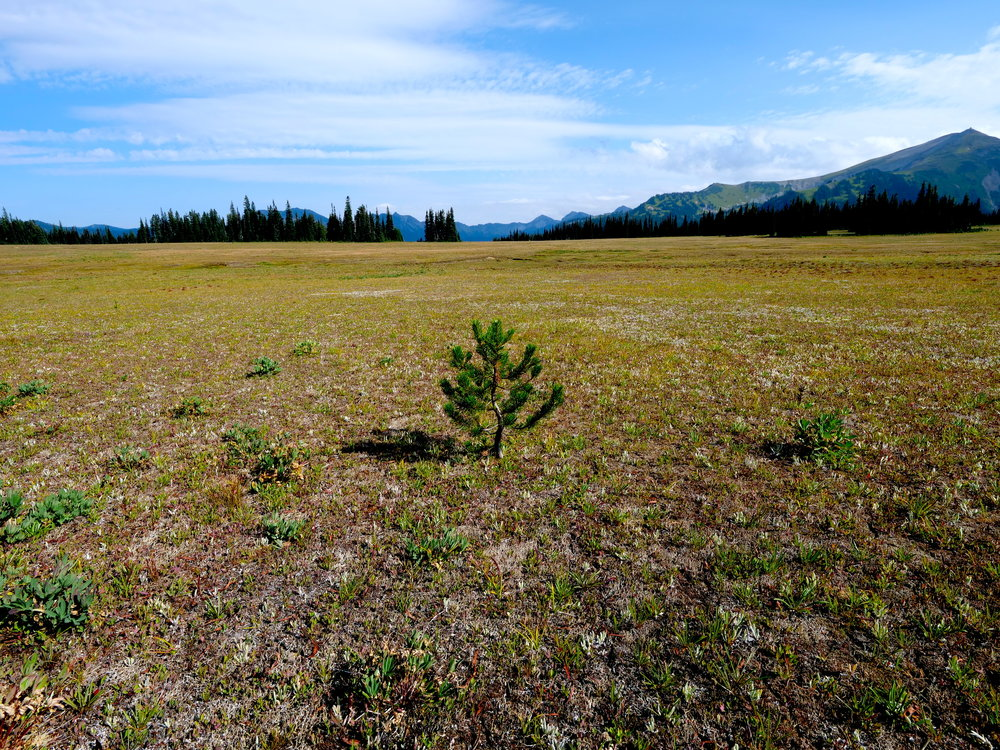 A lone pine takes hold in the expanse of Grand Park, Mt. Rainier National Park