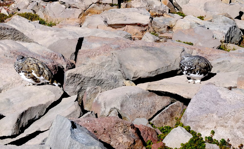 Really round ptarmigans