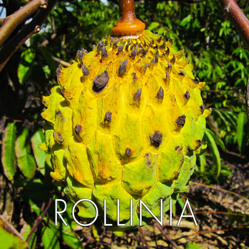 rollinia.jpg