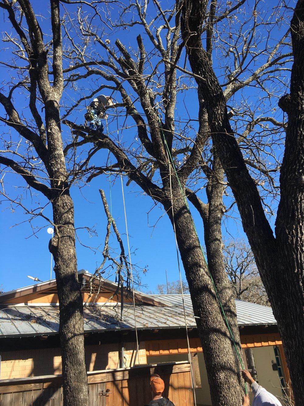 Schmoker tree1.JPG