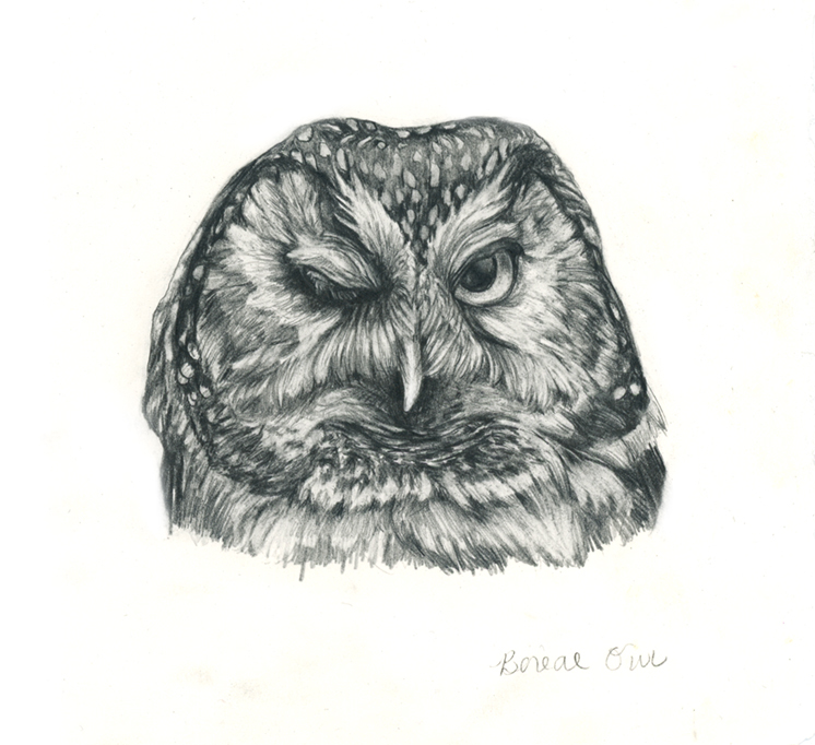 Boreal owl_72_web.jpg