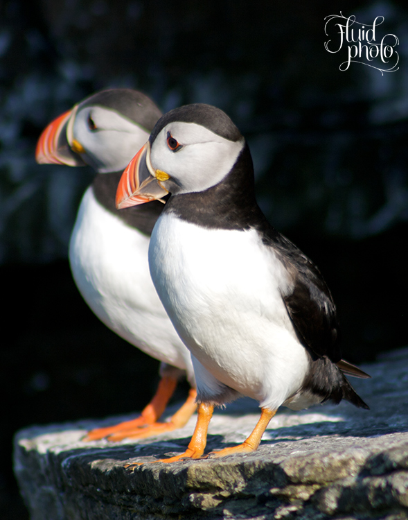 Orkney Puffins