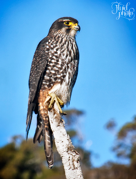 karearea new zealand falcon