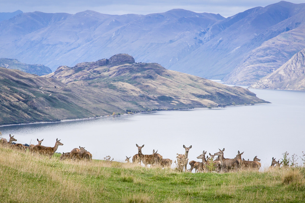 deer-wanaka-photo.jpg