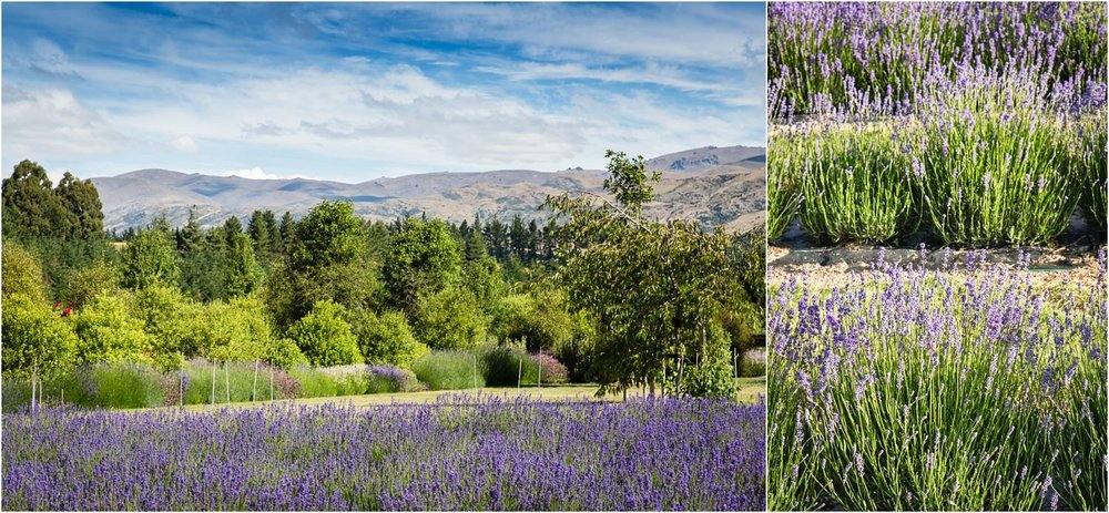 wanaka-lavender-farm-wedding-42.jpg