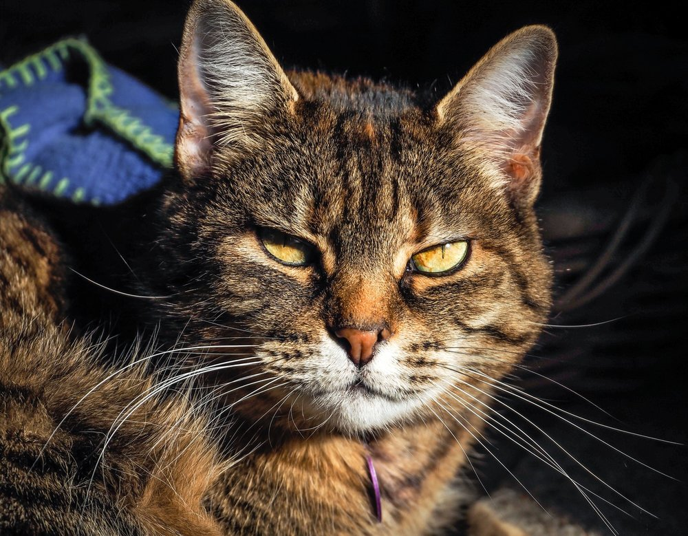 Dakini, our beloved tabby cat