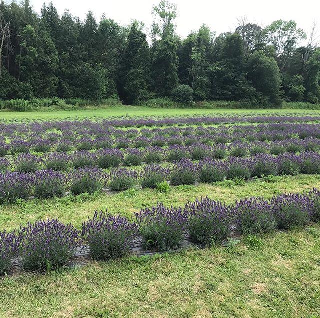 Lavender fields in Ontario 🇨🇦