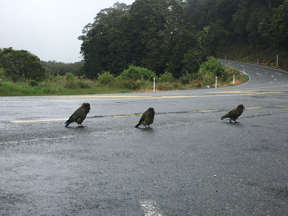 Cheeky Kea birds