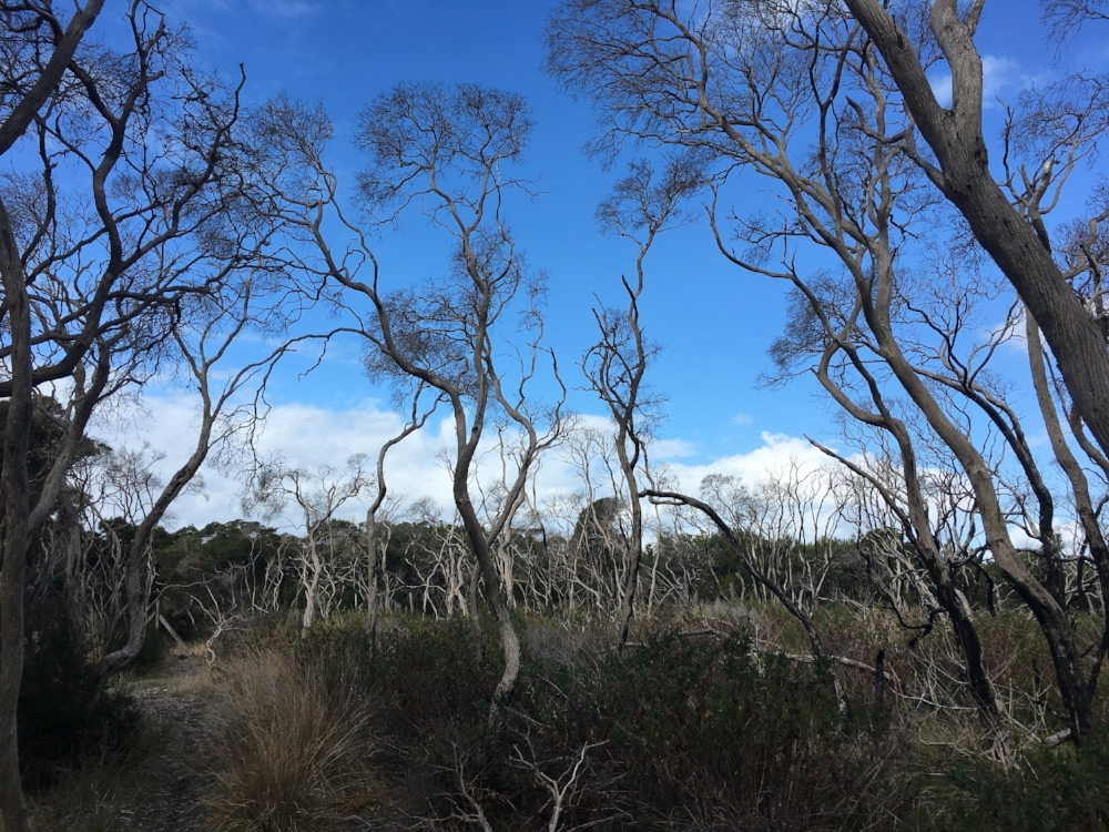 Trees appearing to reach for more at Point Nepean