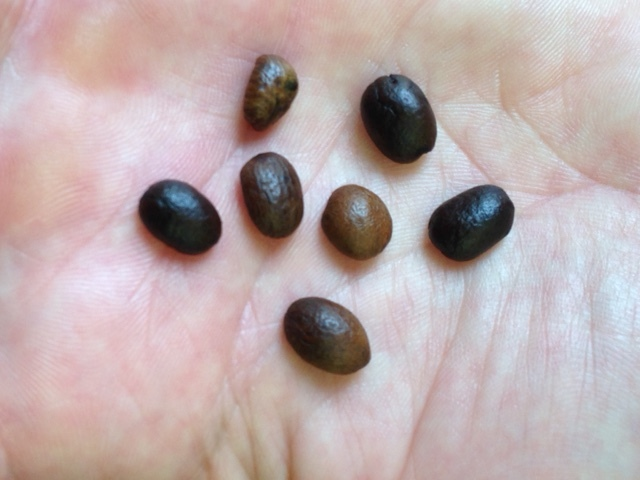 Inconsitent nature of beans roasted in a Drum Roaster
