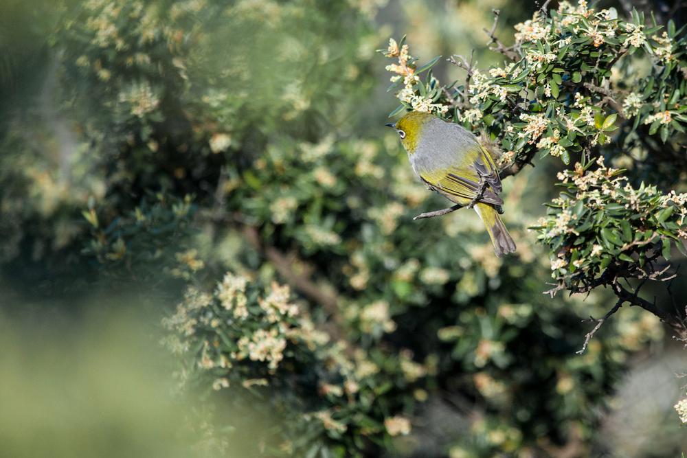 magnolia_mountain_silvereye.jpg