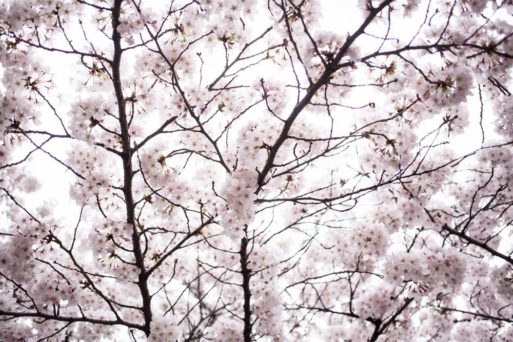 magnolia_mountain_sakura_snow_VX.jpg